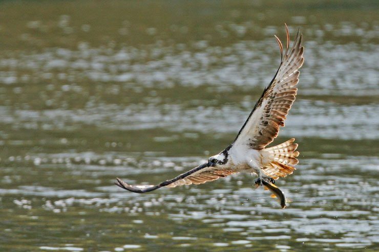 Lake District Ospreys, Bassenthwaite Lake